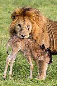 leeuw met prooi